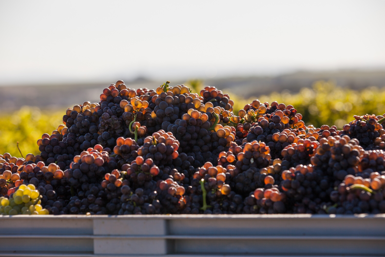 Weingut Bastianshauser Hof - Beste Trauben